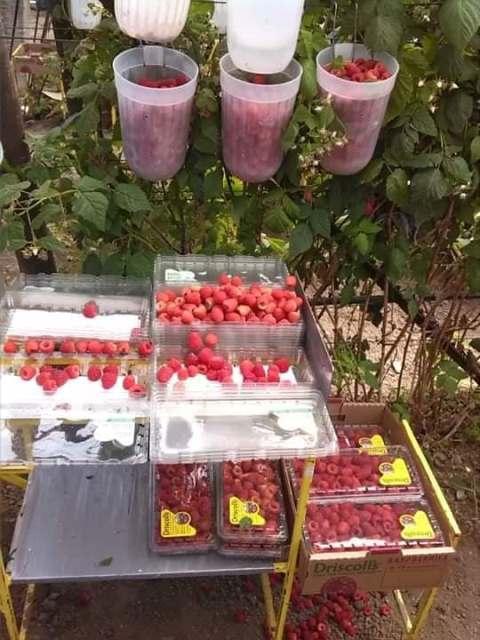 Cultivo de fresas californianas